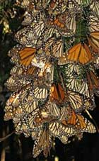 cluster of monarchs