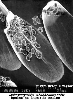 SEM of spores on scales