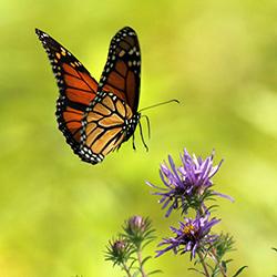 monarch watch monarch tagging event