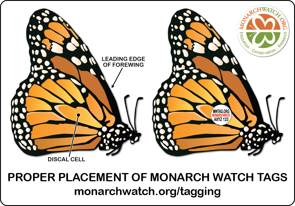 Picture telling where to place a tag on a monarch butterfly